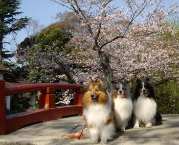 桜桜咲いた!