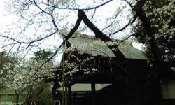 開花を知らせる桜